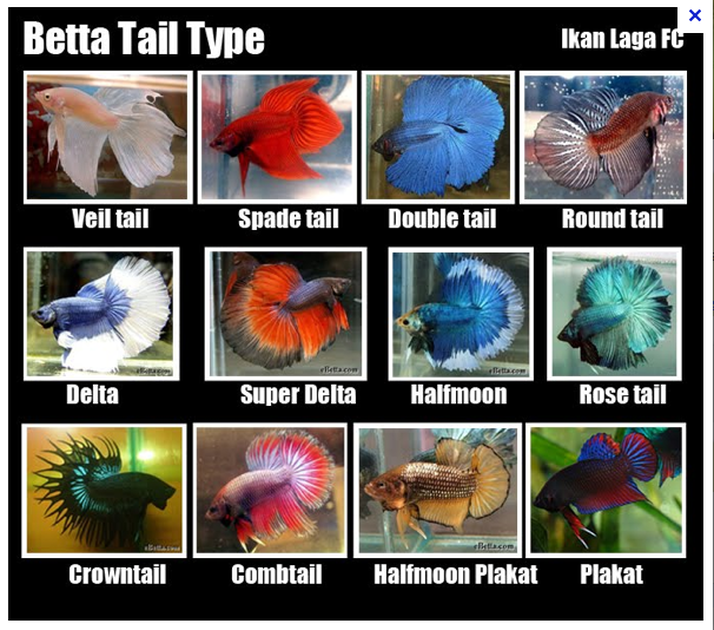 different types of betta fish betta fish care tips and